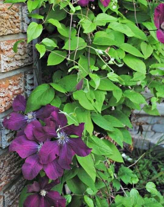 clematis - apulia plants