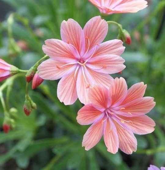 lewisia - apulia plants