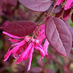 loropetalum - apulia plants