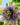 passiflora – apulia plants