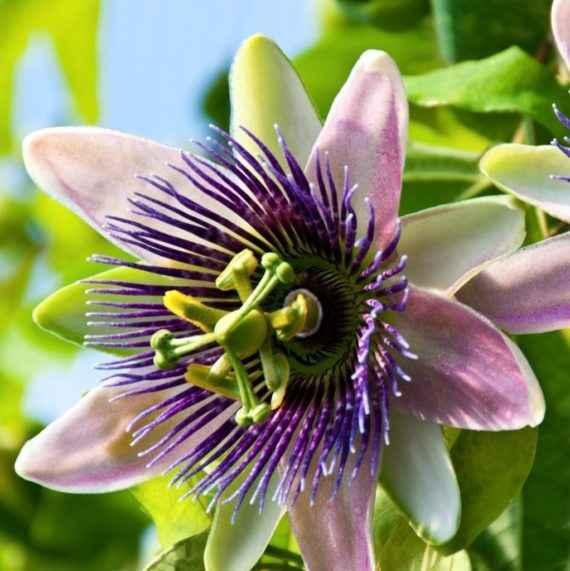 passiflora - apulia plants