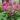 bergenia – apulia plants