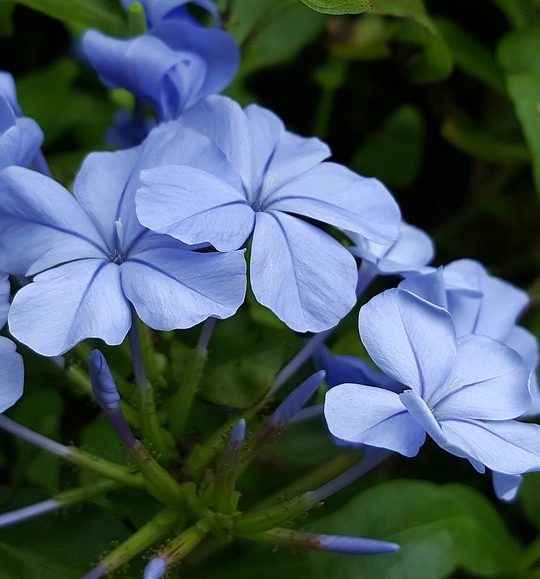 Plumbago - Apulia Plants
